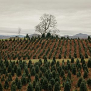 Weekly Economic News Roundup and Christmas tree purchases