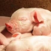 pork supply chain