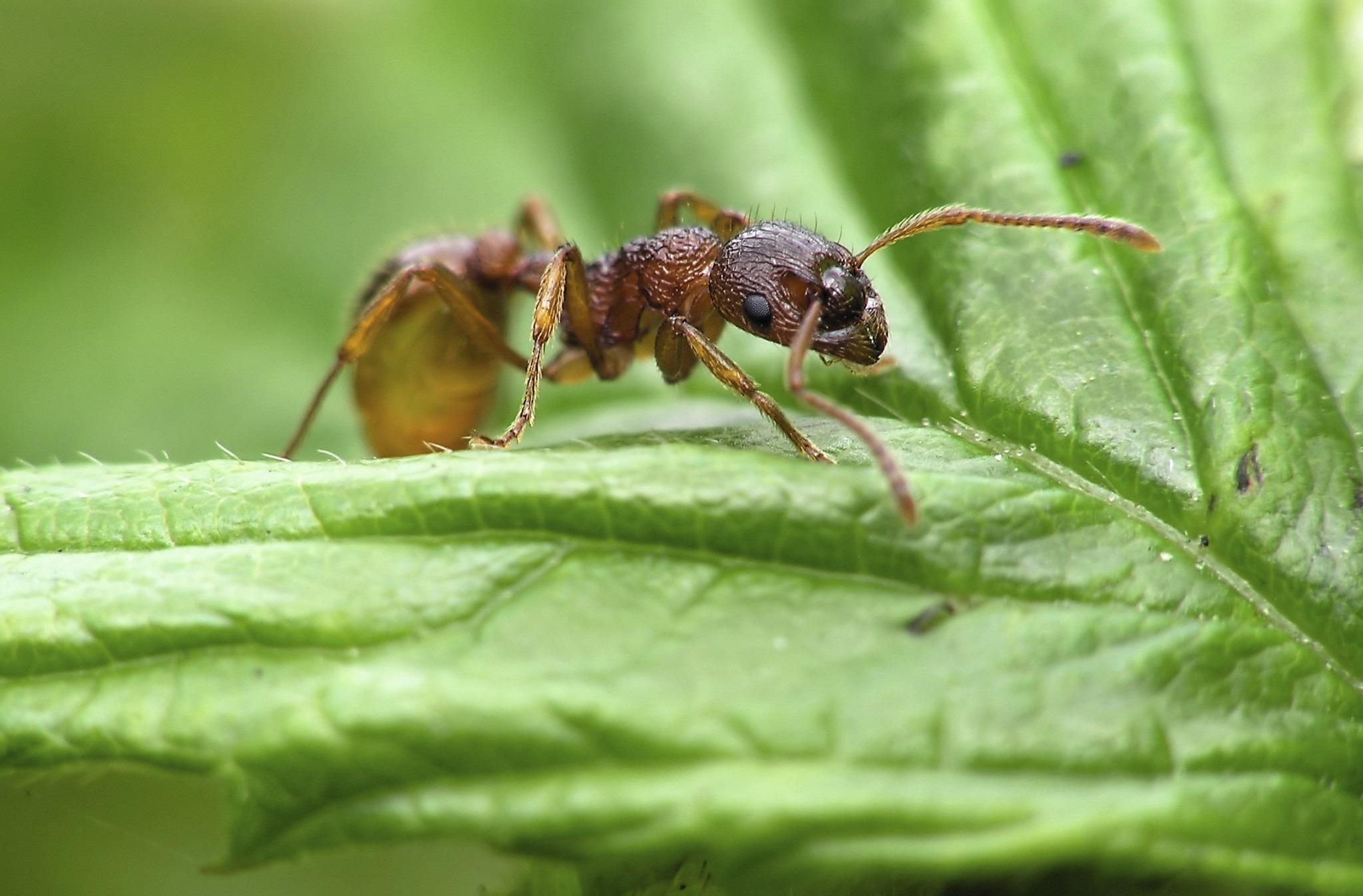 Salamander ant prey