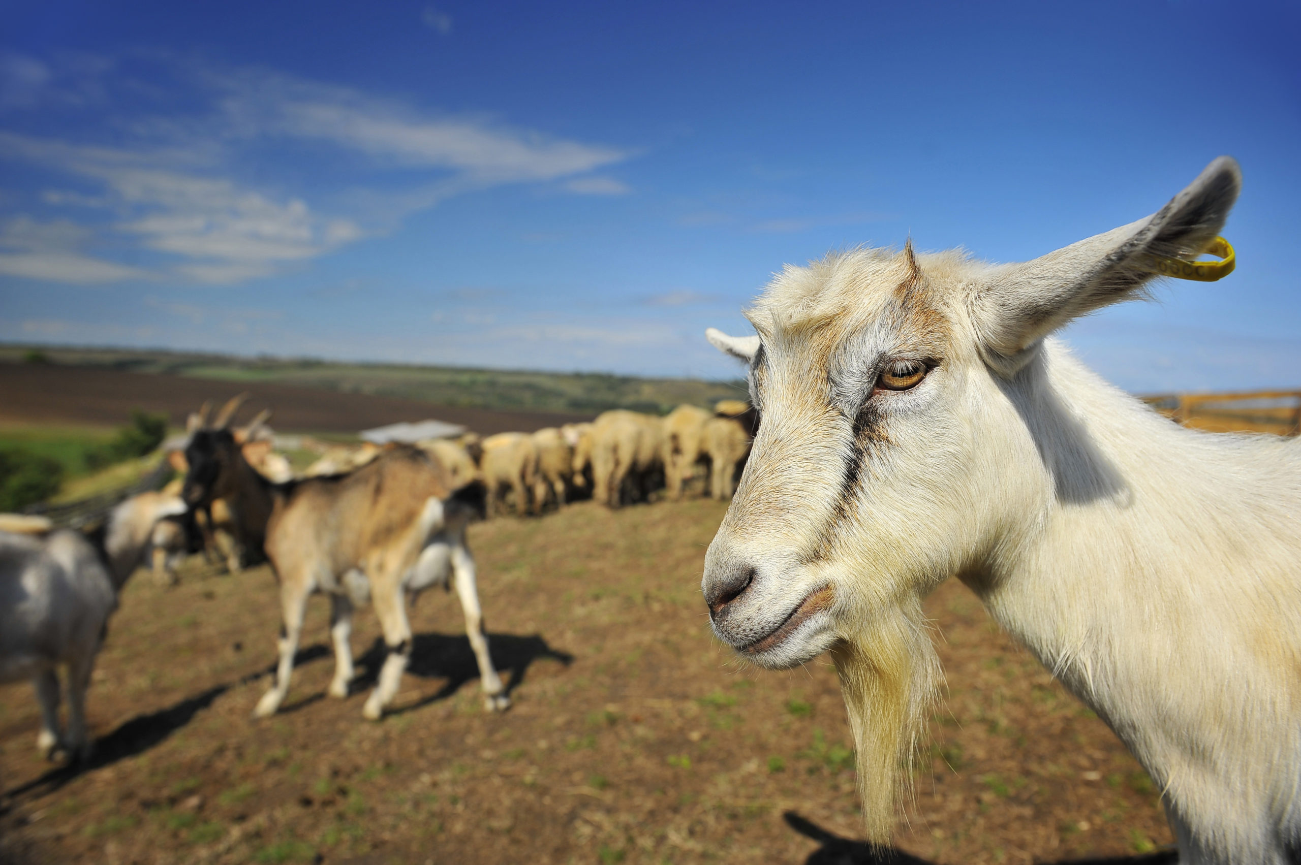 Everyday economics and missing annual agricultural census numbers on goats and other secondary animals and crops because of budget cutbacks, we have a mystery.