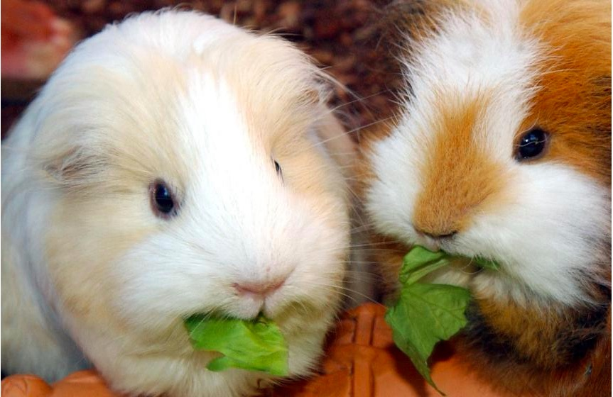 Weekly Economic News Roundup and guinea pig rentals