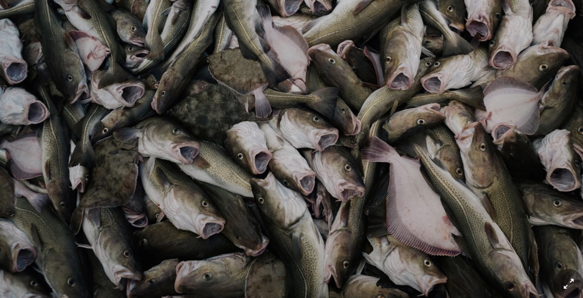 Migrating Fish Fights