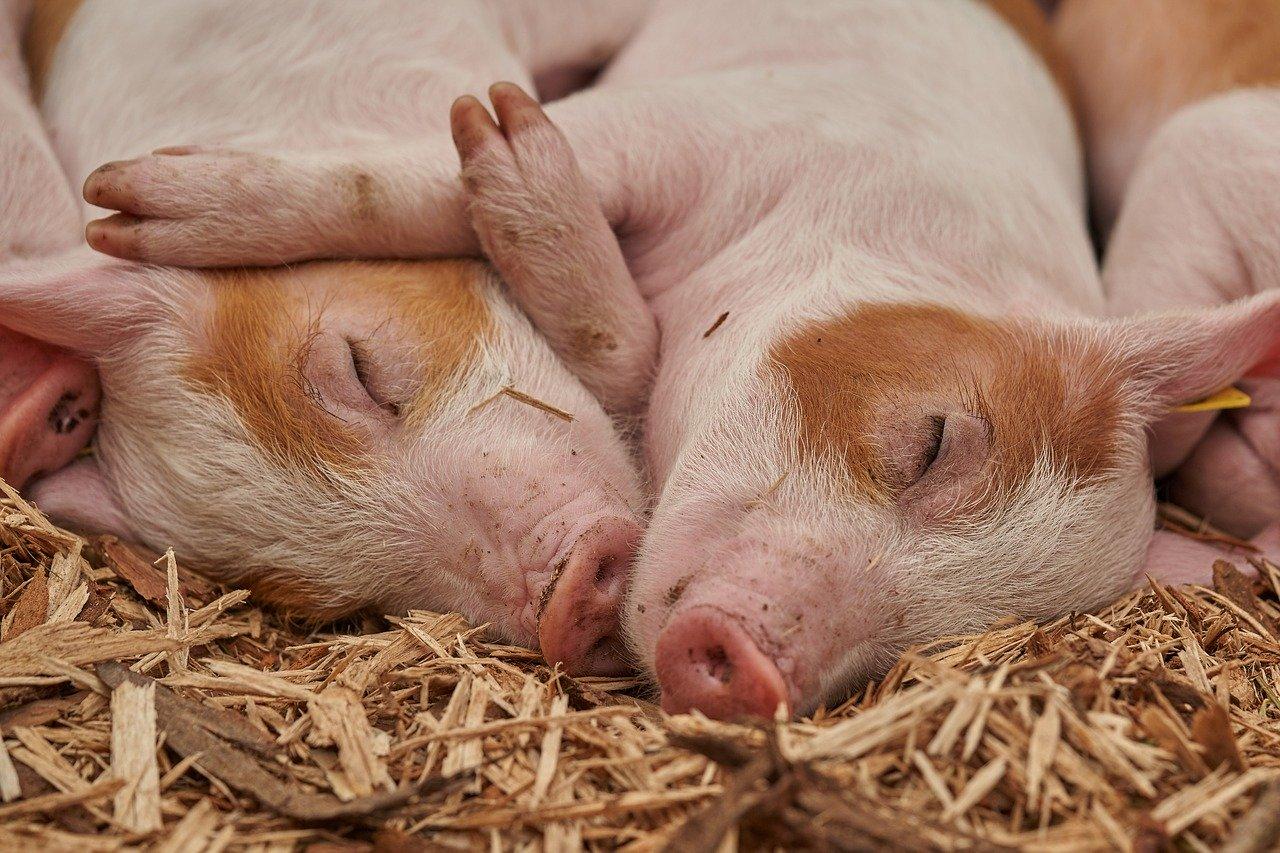 hog farms